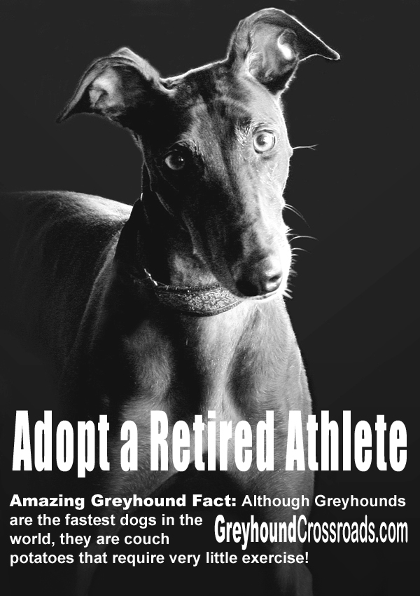 Adopt A Retired Athlete A Greyhound