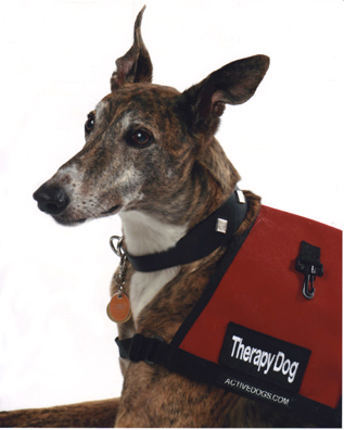 Greyhounds Make Great Therapy Dogs M's Wrong Dog