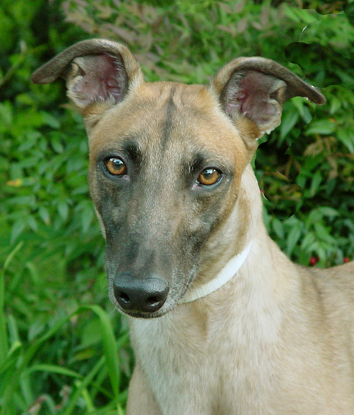 Greyhound Crossroads Photography beautiful eyes