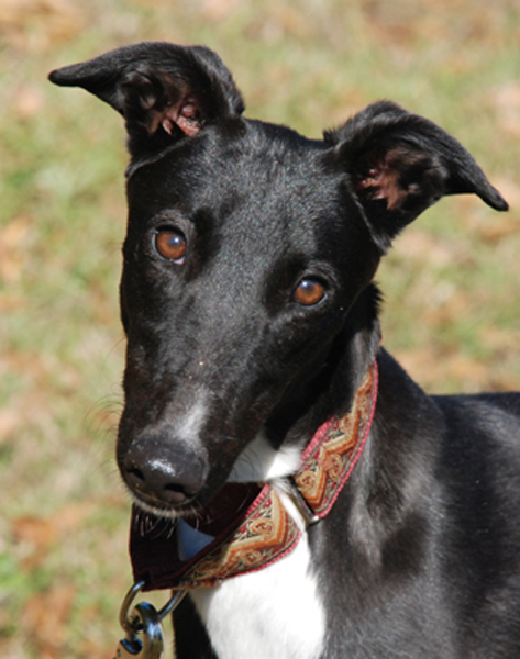 Greyhound Crossroads Photography black dog portrait