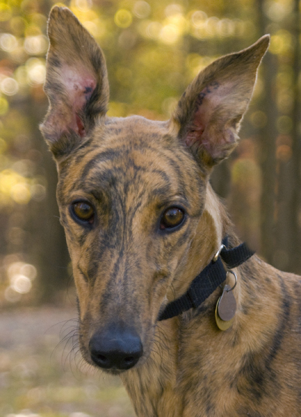 Greyhound Crossroads Dog Photography Big ears
