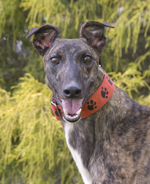 Greyhound Crossroads Dog Photography happy dog