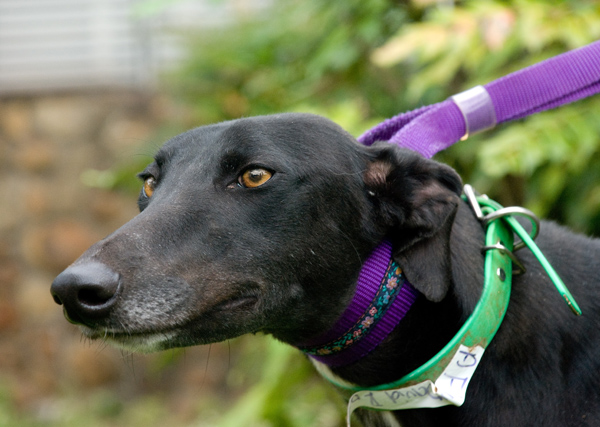 Greyhound too many collars