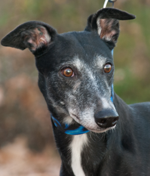 Greyhound Crossroads Photography nice portrait head up