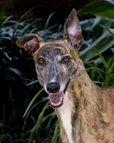 Greyhound Crossroads Photography brindle female