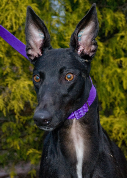 Greyhound photo big ears