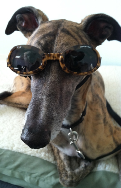 Greyhound Miles wearing goggles