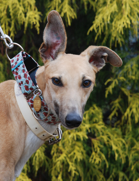 Greyhound Photo remove collar