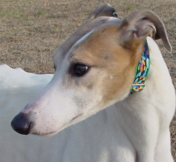 Greyhound Crossroads dog photography