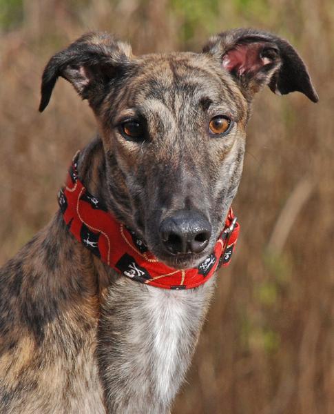 Greyhound Crossroads - Pending Hounds