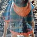 Greyhound_Zorro-big.jpg