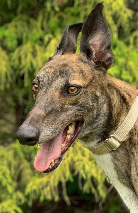 Greyhound Crossroads - 2019 Adoptions