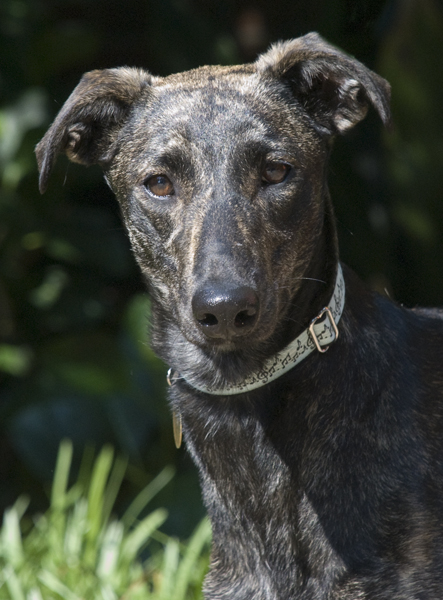 Galga Lillian - no racing name